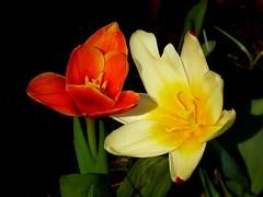 Tulpen (chrisheidenreich) Tags: flower spring blumen tulip frhling tulpe