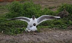 Black Headed Gull 240416 (8) (Richard Collier - Wildlife and Travel Photography) Tags: birds wildlife gull naturalhistory mating british blackheadedgull