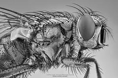 Close Fly (Jefferson Allan - Photographer) Tags: macro natureza infrared paisagens fotografiacampinas empilhamentodefoco jeffersonallan fotografojeffersonallan