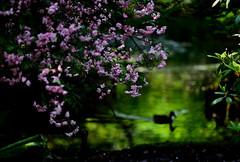 sapporo 391 (kaifudo) Tags: flower reflection japan sapporo nikon hokkaido bokeh  d750 nikkor botanicalgarden afs  70200mm malushalliana    hallcrabapple 70200mmf28gedvrii kaifudo