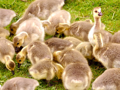 Filled with Goslings (Alan FEO2) Tags: birds animals outdoors geese wings feathers young fluff goslings 25 stokeontrent 62 beaks filltheframe westportlake 2oef 116picturesin2016