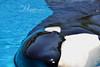 Kiska (Megakillerwhales) Tags: ocean show sea nature animal animals dolphin lolita dolphins whale whales orca oceans beluga corky seaworld shamu belugas animalplanet killerwhale marineland orcas killerwhales marinelife seaworldsandiego loroparque orcawhales kiska cetaceans cetacean seaworldsanantonio animalphotography seaworldorlando shamushow orcawhale animalcloseups nationalgeaographic oneocean marinelandcanada kshamenk marinelandontario tillikum orcashow shamurocks marinelandfrance loroparquetenerife orcatrainer shamucelebration megakillerwhales shamulightupthenight moscowarium
