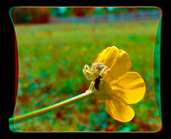 Crab Spider Eatery - Anaglyph 3D (DarkOnus) Tags: wild flower macro closeup dinner insect spider fly stereogram phone buttercup pennsylvania arachnid cell crab anaglyph stereo prey stereography buckscounty eatery huawei mecaphesa mate8 darkonus