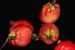 Syzygium alliiligneum (andreas lambrianides) Tags: rolypoly myrtaceae pudden australianflora syzygium australiannativeplants arfp australianrainforests australianrainforestplants australianrainforesttrees satinash qrfp syzygiumalliiligneum onionwood arffs australianrainforestfruits missionbeachsatinash puddenwood australianrainforestseeds pinkarffs redarffs tropicalarf lowlandarf tropicalarffs australianrainforestfruitsandseeds barkinthewood paperbarkedsatinash puddensatinash paperbarked