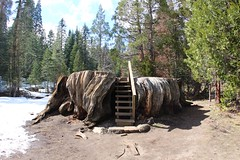 Mark Twain Stump, Kings Canyon (daveynin) Tags: stairs forest nps meadow stump sequoia marktwain