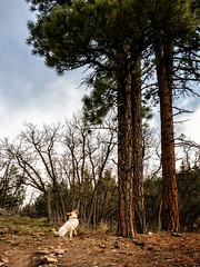 squirrel spotter (maryannenelson) Tags: dog tree pine spring colorado durango mixedbreed springtime