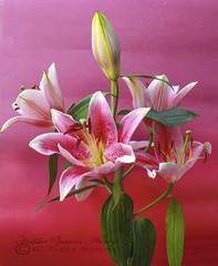 LILLy (hafshazamananney) Tags: homestudio lilyflower