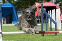 FAN_5981.jpg (Flemming Andersen) Tags: animal denmark outdoor hund agility dk dogsport hundesport sabro centraldenmarkregion dchharlev
