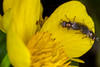 Doing it on the Cup of Kings - _TNY_8292 (Calle Söderberg) Tags: flower macro yellow canon insect fly metallic flash flies mating marigold ranunculaceae ringflash marshmarigold caltha kingcup palustris dcr250 raynox fluga canonef100mmf28usmmacro kabbleka kabbeleka canoneos5dmarkii yongnuo canon5dmkii bugsonbugs yn14ex