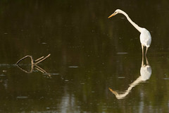 On the Hunt (ken.krach (kjkmep)) Tags: heron evergladesnationalpark