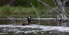Canada goose (canuck4everr) Tags: canada goose canadagoose brantacanadensis