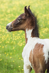 IMG_9351 (kellyburfoot) Tags: equine photography equinephotography horse horses american saddle breds americansaddlebreeds americansaddlebreds nationalshowhorses mare foal