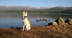 Laska at Loch Morlich (Strathmartine) Tags: dog reflection beach nature water landscape scotland rocks stones microsoft loch cairngorms lochmorlich huskie carlzeiss cairngormsnationalpark windowsphone lumia glenmoreforestpark carlzeisslens cairngormmountains microsoftphone lumiaphotography lumia920