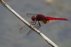 Scarlet Skimmer - Crocothemis servilia - ta-ku, Tokyo, Japan - June 12, 2016-1-mod (mango verde) Tags: japan scarlet tokyo dragonfly odonata libellulidae skimmers crocothemis scarletskimmer crocothemisservilia servilia tokyoportwildbirdpark taku