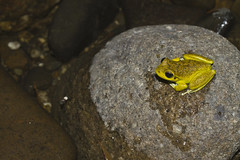 Southern Stony-creek Frog - Litoria lesueurii (Wildlife, Landscape and Travel - Jono Dashper) Tags: life park wild macro animal yellow rock creek canon river 50mm stream nocturnal vibrant wildlife australia victoria frog southern national 7d stony mitchell rana jono stonycreek pepple lesueurii litoria litorialesueurii dashper lesueurstreefrog lesueursfrog
