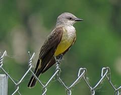 IMG_3125 (lbj.birds) Tags: bird nature wildlife flinthills kingbird westernkingbird kanswas