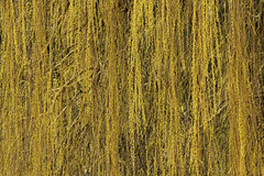 Weeping Willow's Curtain (gripspix (OFF)) Tags: 20160404 archiv priorberg dettingen horb badenwrttemberg germany deutschland weepingwillow trauerweide texture textur