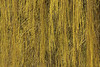 Weeping Willow's Curtain (gripspix (OFF)) Tags: 20160404 archiv priorberg dettingen horb badenwürttemberg germany deutschland weepingwillow trauerweide texture textur