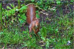 "Ecureuil du jardin ""2016"" (Christian Labeaune) Tags: 2016 ecureuil faune poils christianlabeaune chtillonnais cureuil chatillonsurseine21400 bourgognectedor france jardin"