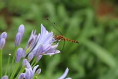 Dragonfly (sorakaze.so) Tags: park dragonfly agapanthus shinjukugyoen