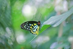 Cairns Birdwing Butterfly (lfeng1014) Tags: ontario macro closeup butterfly dof bokeh depthoffield macrophotography cairnsbirdwing lifeng niagarafallsbutterflyconservatory canon5dmarkiii 100mmf28lmacroisusm