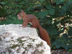 Parc Animalier de Sainte-Croix - Octobre 2015 (27) (Valerie Hukalo) Tags: france automne squirrel lorraine rhodes moselle cureuil faune saintecroix faunesauvage parcanimalier hukalo valriehukalo