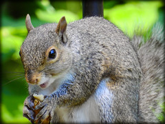 DSCN9612 (DianeBerky19) Tags: summer backyard nikon squirrels birdfeeder peanuts greysquirrels coolpixp900