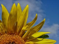 ! FELIZ VERANO ! (abuelamalia49) Tags: nubes verano girasol cieloazul cerradoporvacaciones
