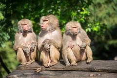 2016-07-03-10h43m54.BL7R4294 (A.J. Haverkamp) Tags: canonef100400mmf4556lisiiusmlens amersfoort zoo dierentuin dierenparkamersfoort httpwwwdierenparkamersfoortnl thenetherlands mantelbaviaan papiohamadryas hamadryasbaboon