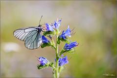 Aporia crataegi. (valpil58) Tags: macro nikon butterflies sigma 105mm d600 aporia crataegi
