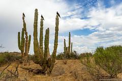 Mexcapade, La Paz, BCS-6.jpg (gaillard.galopere) Tags: cactus canon mexico bajacalifornia mexique baja bajacaliforniasur lapaz bcs 2016 cardone frégatesuperbe frégatemagnifique mexcapade