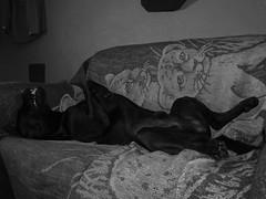 Casimiro, duerme tranquilo como un lirn  (Xic Eseyosoyese (Juan Antonio)) Tags: mi canon amigo is los labrador retriever powershot perro un sin cmo sabana tranquilo enseando duerme casimiro colmillos colchn lirn sx170 duermetranquilocomounlirn