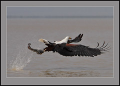 Catching catfish. (Rainbirder) Tags: ngc africanfisheagle haliaeetusvocifer lakebaringo rainbirder
