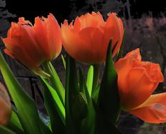 bunch of tulips (Per Ola Wiberg ~ Powi) Tags: mars heart tulips sweden showroom passion 2012 flowerbox the aclass tulpaner thegalaxy ekerö addictedtoflickr mixedflowers of perfectpetals bforbeauty flickrbronzeaward theunforgettablepictures flickrsun exquisitedetails excapture goldstaraward mimamorflowers auniverseofflowers atouchofmagic theflowerbasket stunningflowers ₪zensationalworld₪ passionforflowers certifiedphotographer selectedflowers fabulousplanet fleursetpaysages myfavephotos weloveallflowers thenaturessoul violafriendscollections flowersmania ♥¸•dreamworks♪♪¸••♪♥ ☼☼☼hellofriend☼☼☼ peaceandheart seniasflowersgroup artistspotligh artselectedbyadministrators soulocreativity vinnysfantasies ♥thesoulofourthoughts