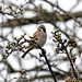 Tree Sparrow NottsWT (cpt Richard Rogers)