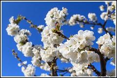 Branches de Cerisiers (Photo-Provence-Passion) Tags: france flower nature fleur cherry spring paca provence paysage arbre printemps cerisier vaucluse ventoux