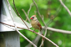 MLB_9669 (fishmlb) Tags: bird cardinal feeders femalecardinal mikebrock michaelbrock mlbfish