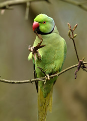 Ring-necked Parakeet (Wouter's Wildlife Photography) Tags: nature wildlife ngc npc halsbandparkiet psittaculakrameri ringneckedparakeet westduinpark mygearandme mygearandmepremium mygearandmebronze mygearandmesilver mygearandmegold dblringexcellence tplringexcellence eltringexcellence