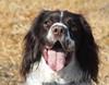 Indi (Shooting Star <3) Tags: portrait dog english spring spaniel springer indi