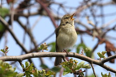 Chiffchaff, Paxton Pits, Cambridgeshire (Andy_Hartley) Tags: mygearandme mygearandmepremium