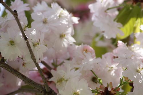 若草山麓の八重桜