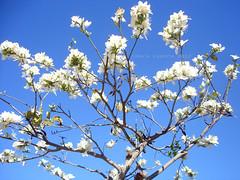 Bauhinia variegata color blanco (Charo Castro) Tags: las flowers flores primavera zeiss spain sony alicante carl rbol orqudeas comunidad valenciana vaca pata orqudea epaa