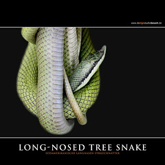 ARGENTINE LONG-NOSED TREE SNAKE (Matthias Besant) Tags: