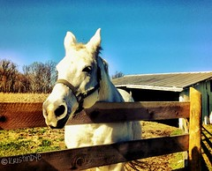 White Horse * (kristindye) Tags: november blue roof ohio horse white color cute green fall nature beautiful sunshine animal closeup barn fence landscape outside outdoors photography woods scenery gate colorful pretty view bright farm vibrant scenic adorable clarity bluesky farmland friendly land noedit greenery normal stable farmanimal whitehorse tinroof clearsky watermark nofilter treefarm iphone christmastreefarm brightsky horsebarn watermarked 2011 horsestable newrichmond ohiofarm iphone4 newrichmondohio iphoneography iphoneonly instagramapp