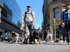 Dogs (Scoboco) Tags: nyc newyorkcity eastvillage gothamist unionsquare dogwalker nycdogs