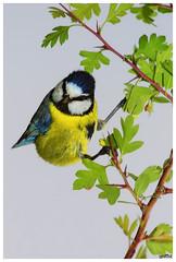 Msange bleue Cyanistes caeruleus - Eurasian Blue Tit (aziouezmazouz) Tags: cute bird nature colours bokeh bellissima naturesfinest topshots nicecapture beautifulcapture anawesomeshot natureselegantshots thewonderfulworldofbirds thebestofmimamorsgroups vividstriking