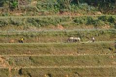 Vietnam : Culture en terrasse (frankyb66) Tags: costumes field montagne asia pentax champs terrasse culture vietnam asie tribe hanoi lolo ethnic soir couleur halong hmong riz champ indochine riziere asiatique tribu kx tonkin rizire ethnie vietnamian