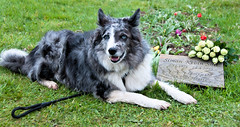 Day 119 of 366 Place of Rest (Chris Willis 10) Tags: sky dog simon grave photo collie rip border ground burial sait 366 photo366 simonsait