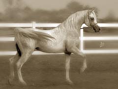 Arabian Horse (BinHaider) Tags: horse canon 7d kuwait arabian بن mahdi بيت العرب حيدر مهدي حصان العربي الخيل الاصيل كانون binhaider