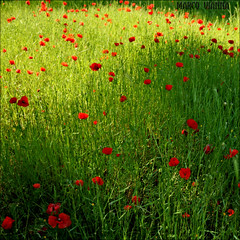 Pintado de Rojo (m@tr) Tags: barcelona red espaa naturaleza nature canon rojo poppies catalunya barberdelvalls amapolas poppiesfield canoneos400ddigital campodeamapolas cosina1935mmf3556 mtr marcovianna lentescosina pintadoderojo